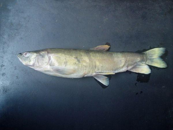 西藏地区特有鱼类-裂腹鱼_西藏旅游攻略网攻略黑3周目口袋妖怪图片