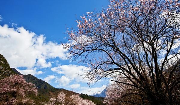 林芝的桃花向着蓝天,盛开