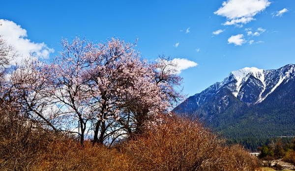 山野桃花始盛开