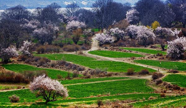 田园的桃花
