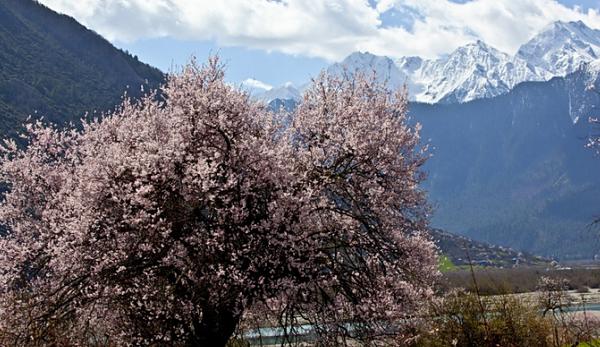 林芝的桃花向着雪山,盛开